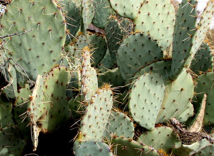 Prickly-Pear-Eaten-021