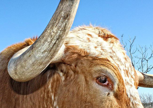 httpfineartamerica.comfeaturedtexas-longhorn-cattle-closeup-terry-fleckney.html